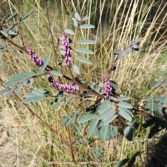 Indigofera australis subsp. australis (Australian Indigo) at Kambah, ACT - 7 Sep 2021 by MatthewFrawley