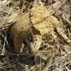 Unidentified Fungus (TBC) at Stromlo, ACT - 6 Sep 2021 by Jean