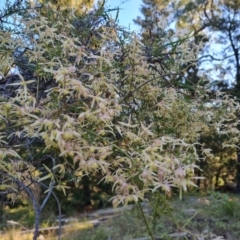 Clematis leptophylla (Small-leaf Clematis, Old Man's Beard) at Isaacs, ACT - 8 Sep 2021 by Mike