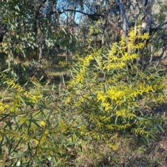 Acacia longifolia subsp. longifolia (Sydney Golden Wattle) at Symonston, ACT - 8 Sep 2021 by Mike