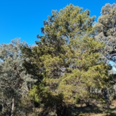 Pinus radiata (Monterey or Radiata Pine) at Jerrabomberra, ACT - 8 Sep 2021 by Mike
