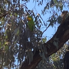 Polytelis swainsonii (Superb Parrot) at Wanniassa, ACT - 8 Sep 2021 by jksmits