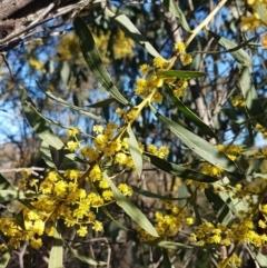 Acacia rubida (Red-leaved Wattle) at Holt, ACT - 8 Sep 2021 by tpreston