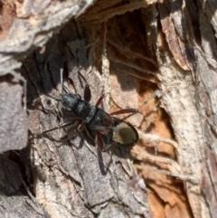 Daerlac cephalotes (Ant Mimicking Seedbug) at Murrumbateman, NSW - 8 Sep 2021 by SimoneC