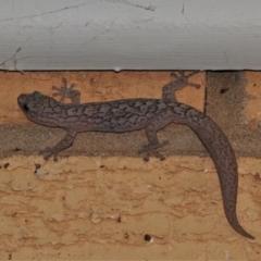 Christinus marmoratus (Southern Marbled Gecko) at Wanniassa, ACT - 8 Sep 2021 by JohnBundock