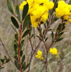 Acacia buxifolia subsp. buxifolia (Box-leaf Wattle) at Cook, ACT - 7 Sep 2021 by drakes