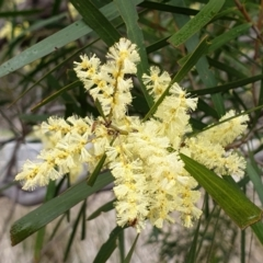 Acacia floribunda (White Sally Wattle, Gossamer Wattle) at Cook, ACT - 7 Sep 2021 by drakes