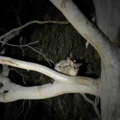Trichosurus vulpecula (Common Brushtail Possum) at Hackett, ACT - 8 Sep 2021 by Louisab
