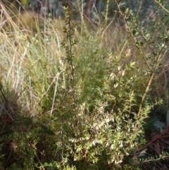 Leucopogon fletcheri subsp. brevisepalus (Twin Flower Beard-Heath) at Greenleigh, NSW - 4 Sep 2021 by LyndalT