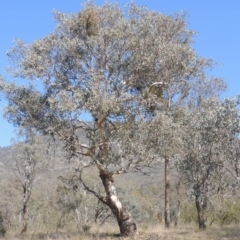 Eucalyptus polyanthemos (Red Box) at Tennent, ACT - 1 Sep 2021 by michaelb