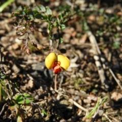 Bossiaea buxifolia (Matted Bossiaea) at Kambah, ACT - 7 Sep 2021 by MatthewFrawley