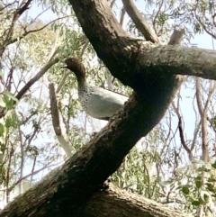 Chenonetta jubata (Australian Wood Duck) at Bruce, ACT - 9 Sep 2021 by goyenjudy