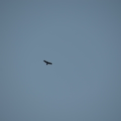 Aquila audax (Wedge-tailed Eagle) at Greenleigh, NSW - 15 May 2020 by LyndalT