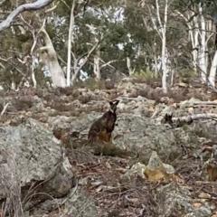Wallabia bicolor (Swamp Wallaby) at Yarrow, NSW - 14 Jun 2021 by Tapirlord