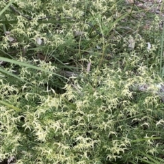 Clematis leptophylla (Small-leaf Clematis, Old Man's Beard) at Aranda, ACT - 8 Sep 2021 by Tammy