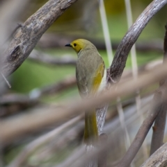 Ptilotula penicillata (White-plumed Honeyeater) at Belconnen, ACT - 4 Sep 2021 by Hallucatus