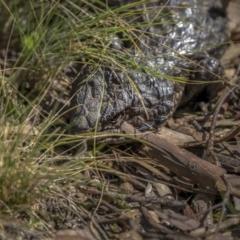 Tiliqua rugosa (Shingleback Lizard) at Downer, ACT - 6 Sep 2021 by trevsci