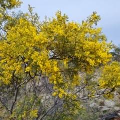 Acacia cardiophylla (Wyalong Wattle) at Isaacs, ACT - 9 Sep 2021 by Mike