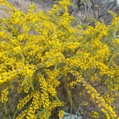 Acacia paradoxa (Kangaroo Thorn) at Isaacs, ACT - 9 Sep 2021 by Mike