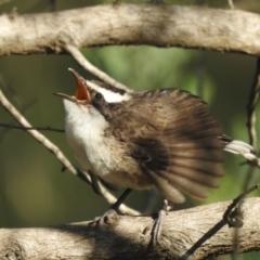 Pomatostomus superciliosus (White-browed Babbler) at Moorong, NSW - 6 Jun 2020 by Liam.m