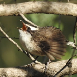 Pomatostomus superciliosus (White-browed Babbler) at suppressed by Liam.m