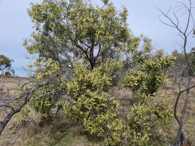 Acacia melanoxylon at Jerrabomberra, ACT - 9 Sep 2021