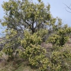Acacia melanoxylon (Blackwood) at Jerrabomberra, ACT - 9 Sep 2021 by Mike