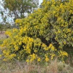Acacia vestita (Hairy Wattle) at Isaacs, ACT - 9 Sep 2021 by Mike