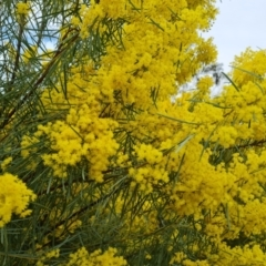 Acacia boormanii (Snowy River Wattle) at Isaacs, ACT - 9 Sep 2021 by Mike