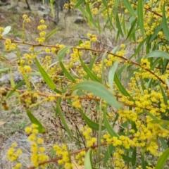 Acacia rubida (Red-leaved Wattle) at Isaacs, ACT - 9 Sep 2021 by Mike
