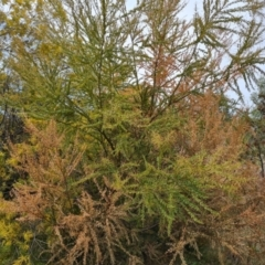 Unidentified Wattle (TBC) at Isaacs, ACT - 9 Sep 2021 by Mike