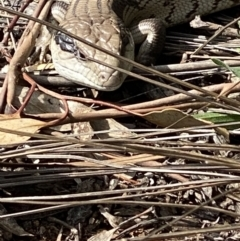 Tiliqua scincoides scincoides (Eastern Blue-tongue) at Hughes, ACT - 9 Sep 2021 by KL