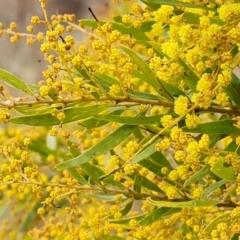 Acacia fimbriata (TBC) at Isaacs, ACT - 9 Sep 2021 by Mike