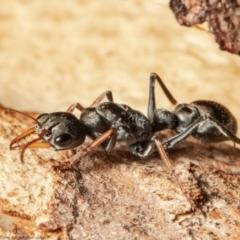 Myrmecia sp., pilosula-group (Jack jumper) at Holt, ACT - 9 Sep 2021 by Roger