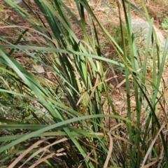 Lomandra longifolia (Spiny-headed Mat-rush, Honey Reed) at Isaacs, ACT - 9 Sep 2021 by Mike