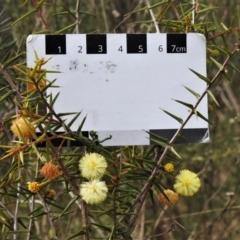 Acacia ulicifolia (Prickly Moses) at Chisholm, ACT - 9 Sep 2021 by JohnBundock