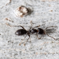 Anonychomyrma sp. (genus) (Black Cocktail Ant) at Holt, ACT - 9 Sep 2021 by Roger