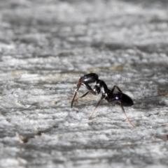 Ochetellus glaber (Black House Ant) at Holt, ACT - 9 Sep 2021 by Roger
