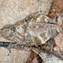 Tetrigidae (family) (Pygmy grasshopper) at Downer, ACT - 9 Sep 2021 by jbromilow50