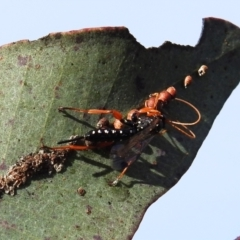Echthromorpha intricatoria (Cream-spotted Ichneumon) at Stromlo, ACT - 9 Sep 2021 by HelenCross