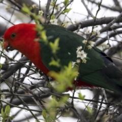 Alisterus scapularis (Australian King-Parrot) at Hawker, ACT - 9 Sep 2021 by AlisonMilton