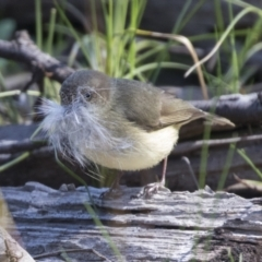 Acanthiza reguloides (Buff-rumped Thornbill) at Hawker, ACT - 6 Sep 2021 by AlisonMilton