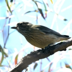 Pachycephala rufiventris (Rufous Whistler) at Majura, ACT - 7 Sep 2021 by jbromilow50
