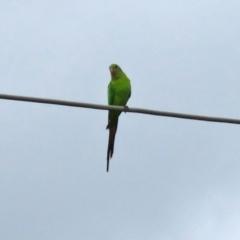 Polytelis swainsonii (Superb Parrot) at Macarthur, ACT - 9 Sep 2021 by RodDeb