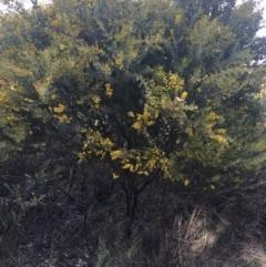 Acacia cultriformis (Knife Leaf Wattle) at Aranda, ACT - 9 Sep 2021 by Ned_Johnston