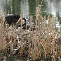 Cygnus atratus (Black Swan) at Bonython, ACT - 9 Sep 2021 by GirtsO