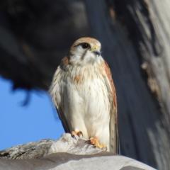 Falco cenchroides (Nankeen Kestrel) at Stromlo, ACT - 9 Sep 2021 by HelenCross