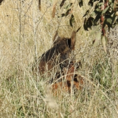 Sus scrofa (Pig (feral)) at Stromlo, ACT - 9 Sep 2021 by HelenCross