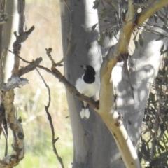 Cracticus nigrogularis (Pied Butcherbird) at Stromlo, ACT - 9 Sep 2021 by HelenCross