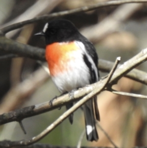 Petroica boodang (Scarlet Robin) at Mittagong, NSW by GlossyGal